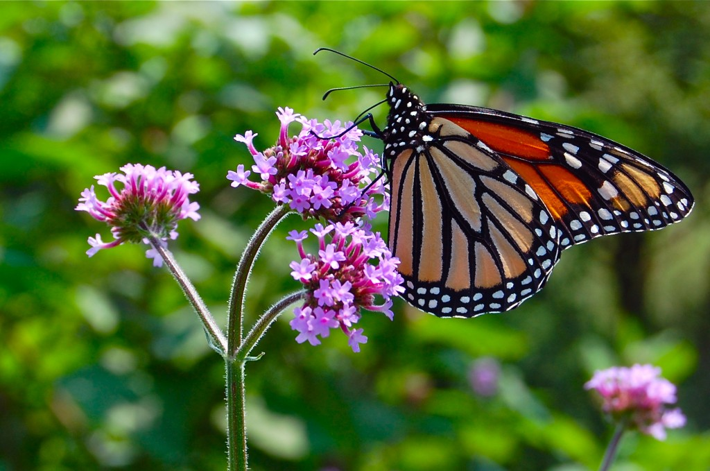 Monarch and Verbena