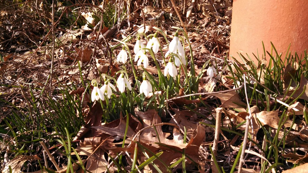 Snow Drops in March