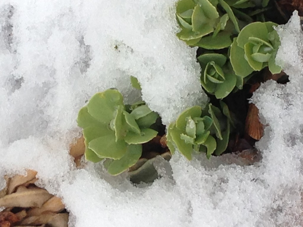Sedum In The Snow