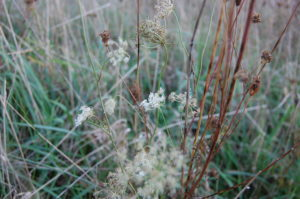 little-queen-annes-lace-late-october