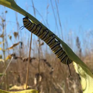 monarch-caterpillar-upside-down-on-grass