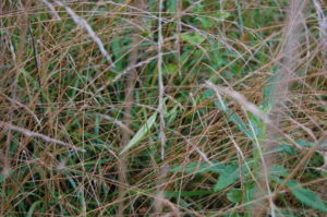 praying-mantis-in-grass-1