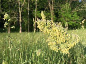 west-grass-in-full-bloom-2